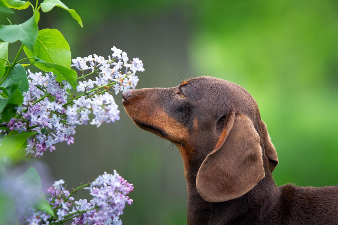 Mushers Secret Springtime Dangers for Your Dog